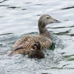 Eider Findochty 29 May 2017 Alison Ritchie 1P