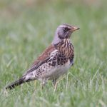 Fieldfare Netherton 12 Feb 2017 Richard Somers Cocks