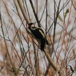 GS Woodpecker Loch Spynie 24 Nov 2013 David Main
