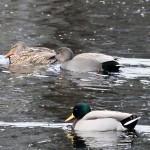 Gadwall Loch Oire 9 Feb 2013 Gordon Biggs