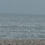 Gannets passing Tugnet 28 Oct 2015 Martin Cook