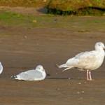 Glaucous Gull 2ndW Lossie estuary 1 Oct 2013 Gordon Biggs