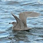 Glaucous Gull Buckie harbour 1 Feb 2015 Hugh Clark 1