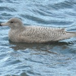 Glaucous Gull Buckie harbour 1 Feb 2015 Hugh Clark 2