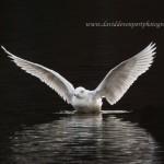 Glaucous Gull Loch Oire 28 Mar 2014 David Devonport 1