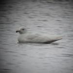 Glaucous Gull Loch Spynie 25 Apr 2014 Martin Cook 2