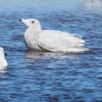 Glaucous Gull Lossie estuary 1 May 2015 Mike Crutch