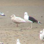 Glaucous Gull Lossie estuary 16 April 2017 Bob Proctor