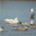 Glaucous Gull Lossie estuary 25 Jul 2015 Duncan Gibson 1