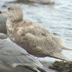 Glaucous Gull Lossie estuary 26 Apr 2018 Bob Proctor