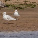 Glaucous Gull Lossie estuary 29 Jun 2015 David Main 2