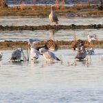 Glaucous Gull Spey estuary 20 Dec 2017 Martin Cook