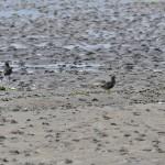 Golden Plover Findhorn Bay 21 July 2014 Gordon McMullins