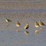 Golden Plover Findhorn Bay 6 Mar 2014 Richard Somers Cocks