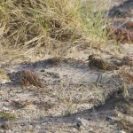 Golden Plover Findhorn dunes 26 Sept 2013 Richard Somers Cocks