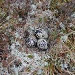 Golden Plover nest Cairnbrallan 24 May 2015 Fiona McHugh