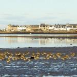 Golden Plovers Findhorn Bay 26 Nov 2014 Richard Somers Cocks