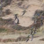 Golden Plovers Findhorn dunes 17 Dec 2013 Richard Somes Cocks