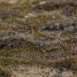 Golden Plovers Findhorn dunes 21 Dec 2013 David Main 2