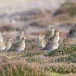Golden Plovers Findhorn dunes 7 Nov 2017 Richard Somers Cocks P