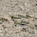 Golden Plovers Moyness 14 Apr 2017 Alison Ritchie P