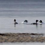 Goldeneye Findhorn Bay 17 Feb 2014 Richard Somers Cocks
