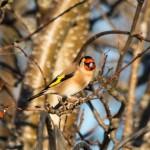Goldfinch Alves 15 Dec 2015 Tony Backx