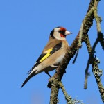 Goldfinch Lossiemouth 26 Mar 2014 Gordon Biggs