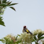 Goldfinch Spey Bay 9 Jul 2015 Kathleen Sanderson