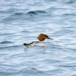 Goosander Findochty 29 May 2017 Alison Ritchie