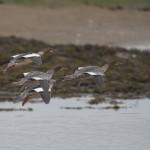 Goosander Lossie estuary 17 Sept 2014 David Main