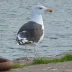 Great Black backed Gull Burghead 29 Sep 2013 Bob Proctor