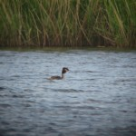 Great Crested Grebe Loch Spynie 11 May 2014 Martin Cook