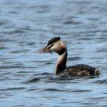 Great Crested Grebe Loch Spynie 18 Apr 2018 Gordon Biggs 1