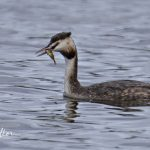 Great Crested Grebe Loch Spynie 19 Apr 2018 Nick Mellor
