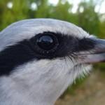 Great Grey Shrike Teindland 6 Dec 2014 Alastair Young 1