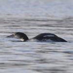 Great Northern Diver Findhorn 10 Jan 2013 Richard Somers Cocks