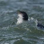 Great Northern Diver Gavia immer adult winter Burghead 30 Dec 2012 David Devonport