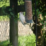 Great Spotted Woodpecker Forres 24 June 2014 Carol Menzies