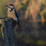 Great Spotted Woodpecker Grange 29 Dec 2015 Valerie Sheach Leith