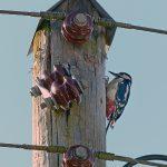 Great Spotted Woodpecker Lethen 26 Jul 2017 Jack Harrison
