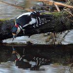 Great Spotted Woodpecker Loch Spynie 17 Feb 2017 Gordon Biggs P
