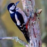 Great Spotted Woodpecker Loch Spynie 25 Oct 2017 Nick Mellor