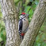 Great Spotted Woodpecker Loch Spynie 4 Aug 2014 Gordon Biggs