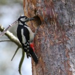 Great Spotted Woodpecker at nest Loch Spynie 27 May 2013 Gordon Biggs 1