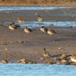Green winged Teal Lossie estuary 17 Jan 2015 Martin Cook