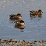 Green winged Teal Lossie estuary 18 Nov 2017 Martin Cook