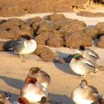 Green winged Teal Lossie estuary 29 Jan 2015 Richard Somers Cocks
