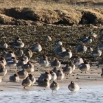 Green winged Teal Lossie estuary 30 Jan 2015 Martin Cook