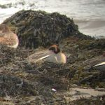 Green winged Teal x Teal Lossie estuary 17 Mar 2018 Bob Proctor